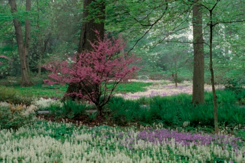 Phlox 'Sherwood Purple', Tiarella and a Redbud tree blooming in Peirce's Woods (image by L. Albee)