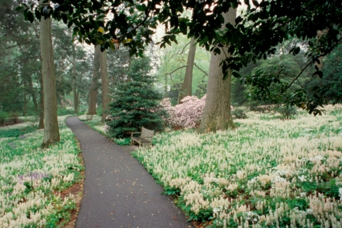 Peirce's Woods in Bloom, Foam Flowers (Tiarella) drift across the middle path