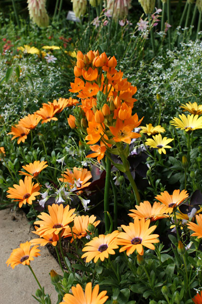 Orange daisy-like flowers of Osteospermum 'Orange Symphony' and orange star-shaped flowers of Ornithogallum dubium