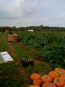 Pumpkin picking in progress