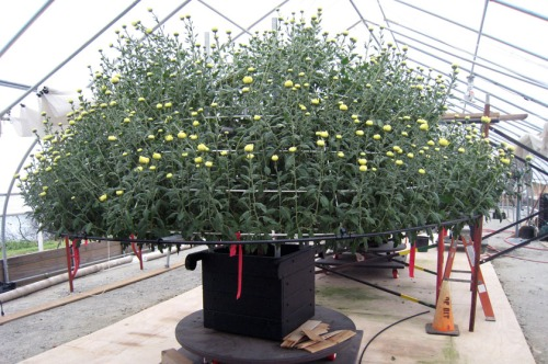 Thousand Bloom Chrysanthemum just prior to its move to the East Conservatory