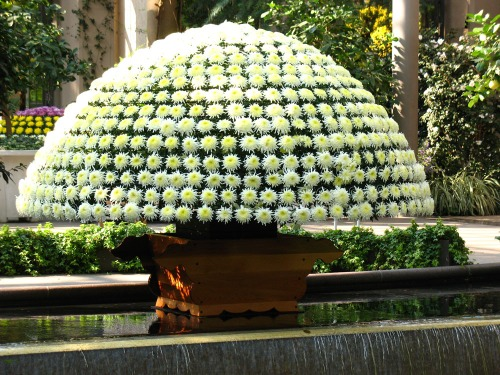 Thousand Bloom Chrysanthemum on display