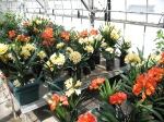 Clivia in bloom in the reserach greenhouses.