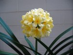 A yellow Clivia from a cross with Sir John.