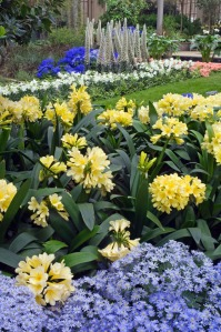 Yellow clivia on display at Longwood Gardens