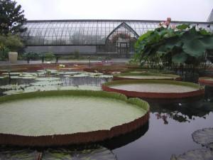 'Longwood Hybrid' Water-platter