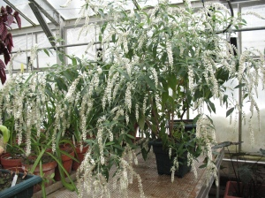 Buddleja 'Winter Waterfall'
