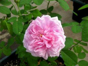Rosa 'Comte-de-Chambourd'