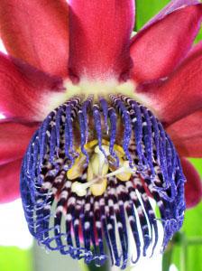 Passiflora 'Ruby Glow'