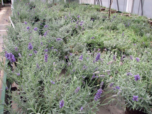The scent of lavender fills the greenhouse