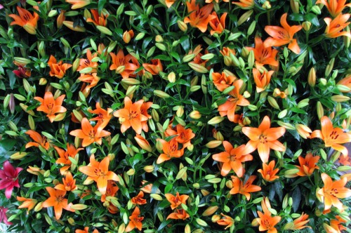 A wall of lilies on display in the Conservatory