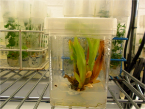 Canna in tissue culture box