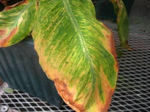 A canna leaf with virus symptoms