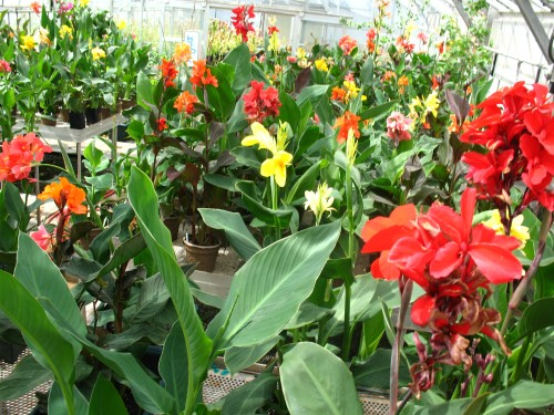 Seedling cannas in Longwood's Research Department