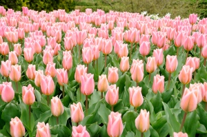 Tulips in bloom outdoors