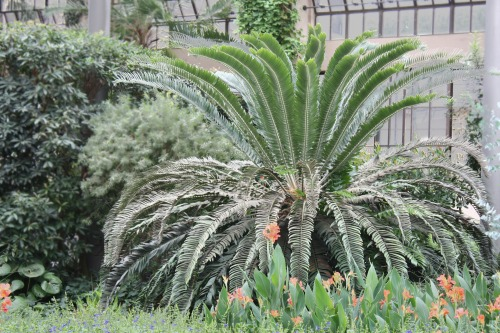 Encephalartos woodii growing in the East Conservatory