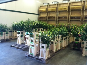 Lilies being staged for packing and shipping - May 14