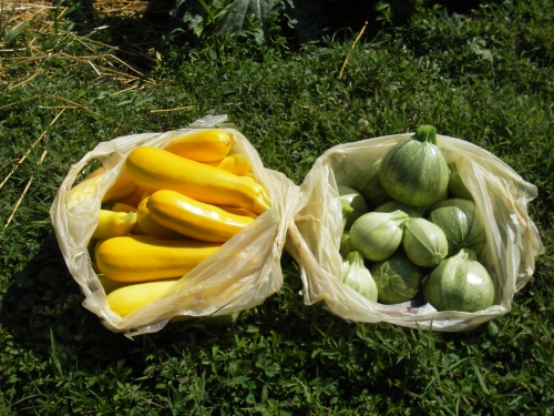 Summer Squash: Golden Zebra (left)/Ronde de Nice (right)