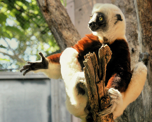 A lemur hanging out in a tree--probably waiting for a Rhus snack (Photo from Tammy Schmidt, Philadelphia Zoo)