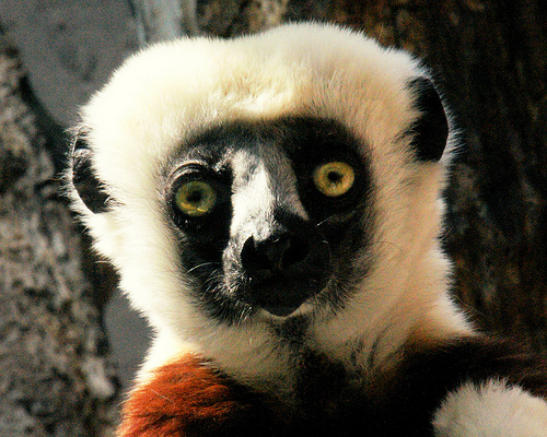 A wide-eyed safiaka (Photo from Tammy Schmidt, Philadelphia Zoo)
