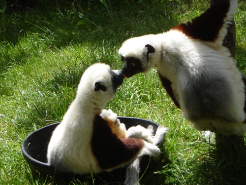 Lemur Love (Photo by Desiree Haneman)