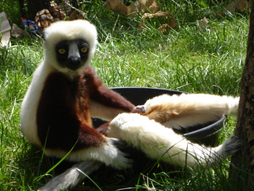 A lemur kicking back, showing off its long legs (Photo by Desiree Haneman, Philadelphia Zoo)