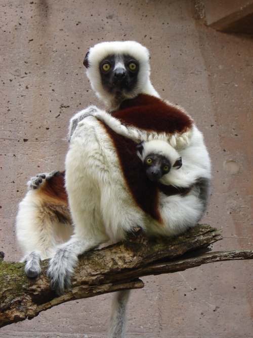 A mother and baby lemur (Photo by Desiree Haneman, Philadelphia Zoo)