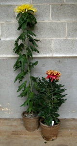 The tall yellow mum on the left was started June 1st while the shorter orange one on the right was started July 15th.