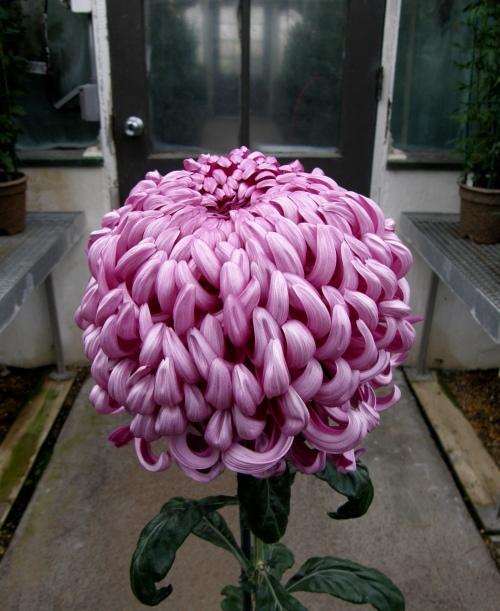 Chrysanthemum x morifolium 'Hagoromo' (Irregular Incurve)