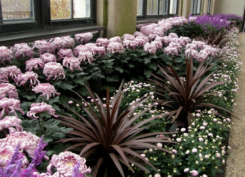 Chrysanthemum x morifolium 'Hagoromo'