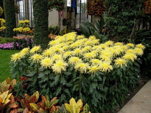 Chrysanthemum x morifolium 'Golden Splendour'