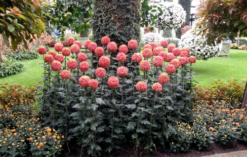 Chrysanthemum x morifolium 'Paint Box'