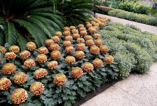 Chrysanthemum x morifolium 'St. Tropez'