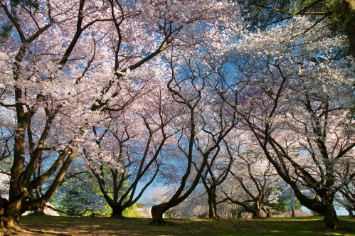 Flowering Cherry Trees at Longwood Gardens