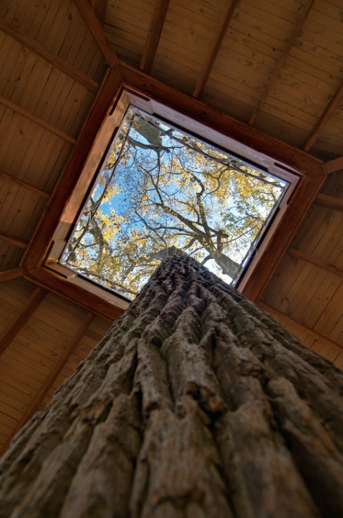 Tulip poplar in lookout loft tree house.