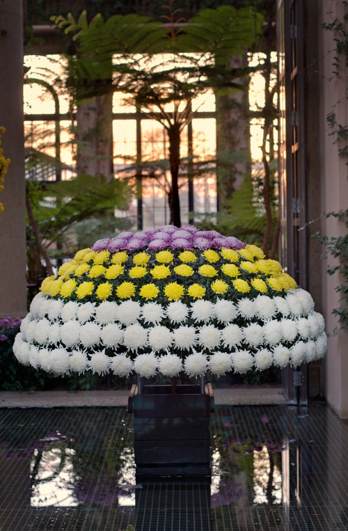 Tri-colored, dome-shaped chrysanthemum on display at Longwood Gardens, 2011