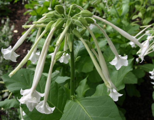 Nicotiana sylvestris (flowering tobacco)