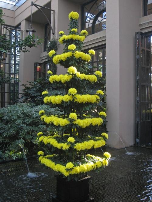 Pagoda chrysanthemum, 2011