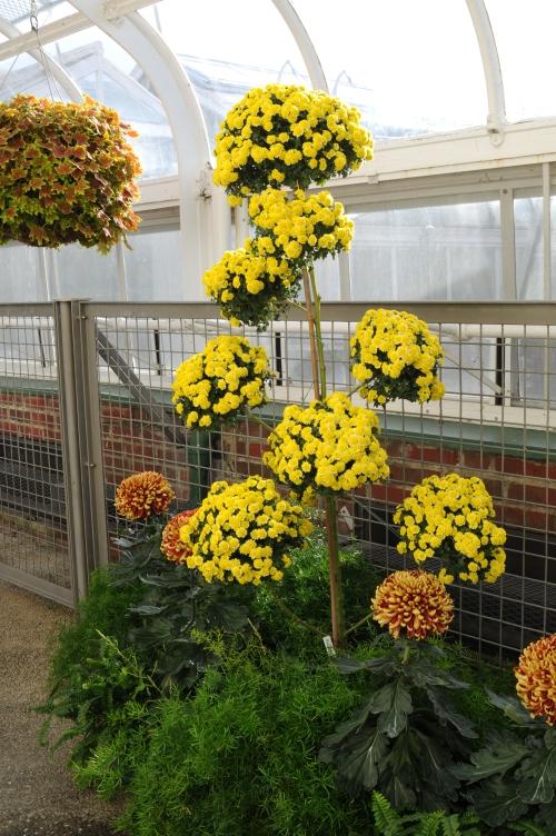 Pom-pom chrysanthemum, 2011