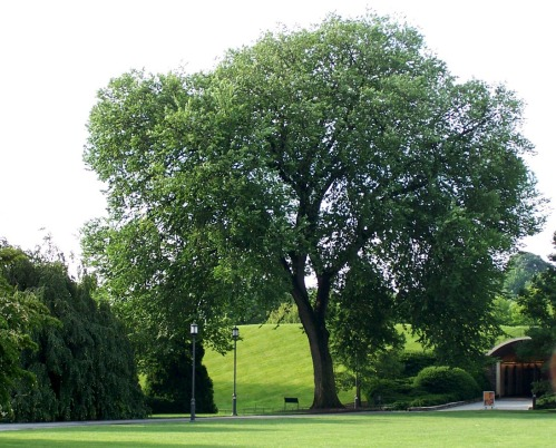 The majestic American Elm at Longwood Gardens, 2012