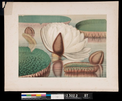 "Lithograph by William Sharp from Victoria Regia by John Fisk Allen. The author describes this plate as ""leaves of a matured plant, with the expanding flower of the actual size."" Here the plate has been removed from the book and awaits treatment at CCAHA. Note the brown spotting, or foxing, the tear in the upper corner, and the visible binding holes at the bottom of the print."