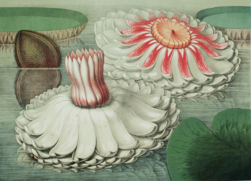 Chromolithograph of Victoria regia, the water lily