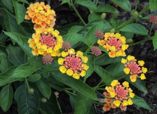 One of the seven cultivars of yellow flowering Lantana blooming in the Trial Garden.